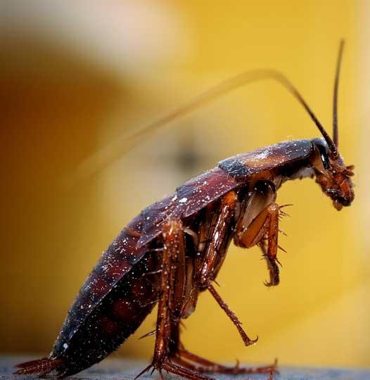 Melbourne Cockroach Pest Control