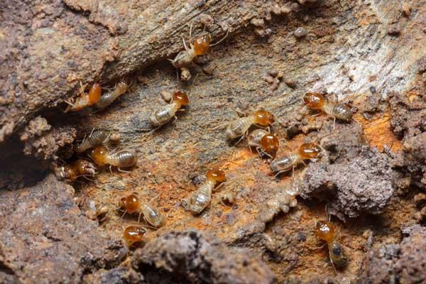 Best Pest Control Service Mornington Peninsula AdobeStock 195868116 s